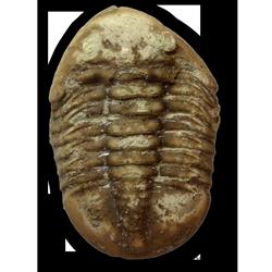 Trilobites (Trilobita)