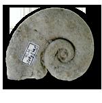 Gastropods (Gastropoda)