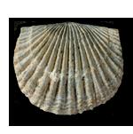 Brachiopods (Brachiopoda)