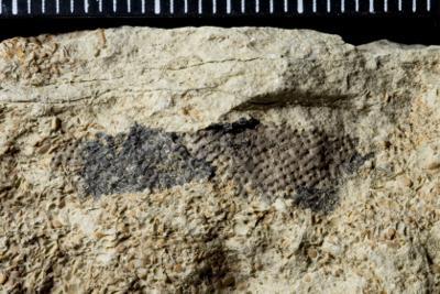 Cysticamaridae