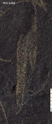 Retiolites sp., TUG 6-425