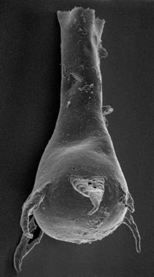 <i><i>Plectochitina magna</i></i><br />Varbla 502 borehole, 135.10 m, Jaani Stage ( 219-1)