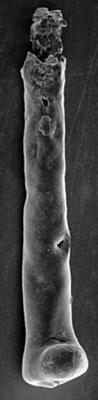 <i><i>Chitinozoa</i> | Conochitina cf. mamilla Laufeld, 1974</i><br />Ninase cliff, 47.90 m, Jaani Stage ( 197-14)