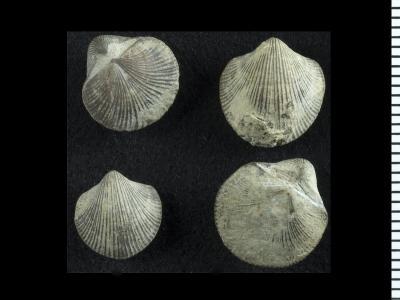Resserella canalis (J. de C. Sowerby, 1839), GIT 128-56