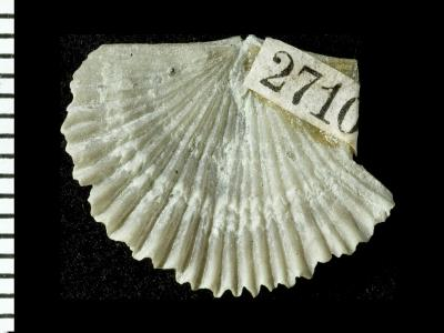 Panderina pakriensis Rubel, 1961, GIT 125-48