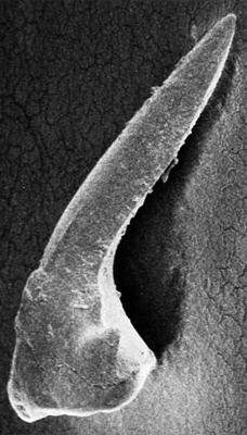 Coryssognathus dubius (Rhodes, 1953), GIT 185-61