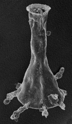 <i><i>Plectochitina ralphi</i></i><br />Vängla trench,  m, Adavere Stage ( 223-21)