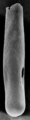 <i><i>Conochitina iklaensis</i></i><br />Ruhnu 500 borehole, 584.00 m, Raikküla Stage ( 272-97)