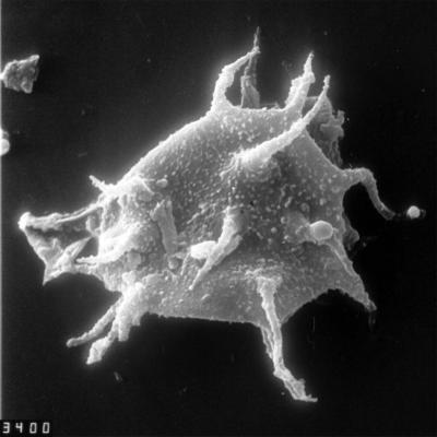 Dasydiacrodium obsonum Martin, 1988, TUG 1528-53