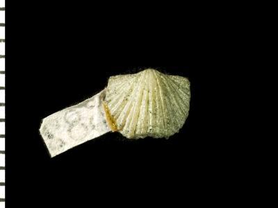 Ranorthis parvula Rubel, 1961, GIT 125-4