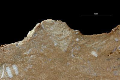 Taenidium isp., GIT 343-200