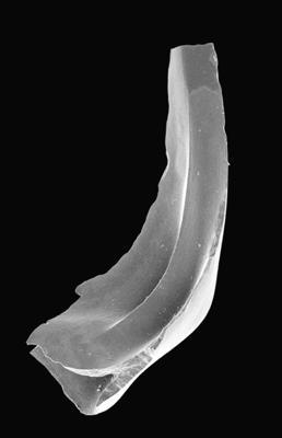 Tripodus sp., GIT 495-56