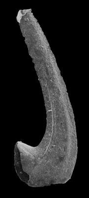 Drepanodus cf. arcuatus Pander, 1856, GIT 594-120