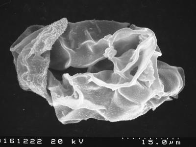 Pirea orbicularis Volkova 1990, TUG 1524-18