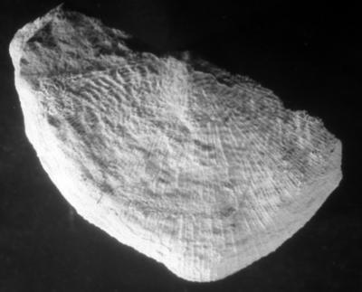 Harjumena schmidti (Gagel, 1890), TUG 72-183