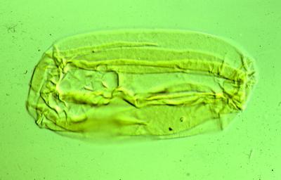 Eliasum microgranulatum Hagenfeldt, 1989, TUG 1521-65