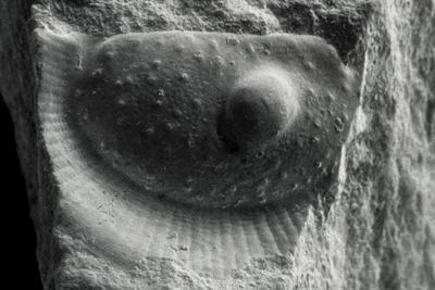 Beyrichicopida