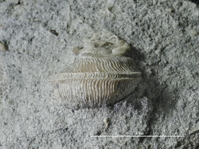 Brachytomaria baltica (Verneuil, 1845), GIT 222-114
