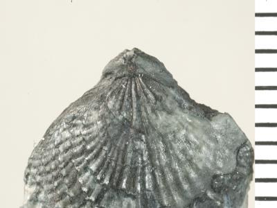 Eospirigerina porkuniana Rubel, 1970, GIT 130-99