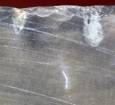 Palaeosabella boring, TUG 1361-4-1