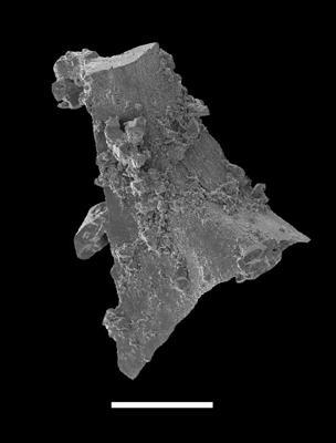 Pterospathodus pennatus procerus (Walliser, 1964), GIT 598-5