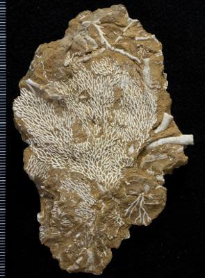 Chasmatopora furcata (Eichwald, 1854), GIT 398-84