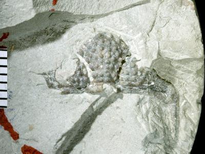 Encrinurus (Encrinurus) balticus Männil, 1978, GIT 177-10