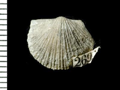 Panderina tetragona (Pander, 1830), GIT 125-36