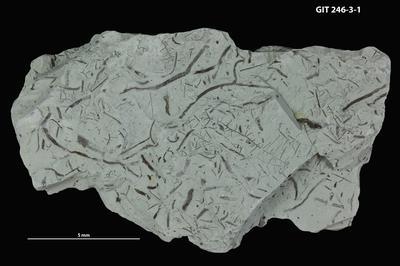 Dendrorhaphe isp., GIT 246-3-1
