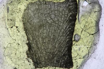 Dekayella cf. praenuntia simplex Ulrich, GIT 533-256