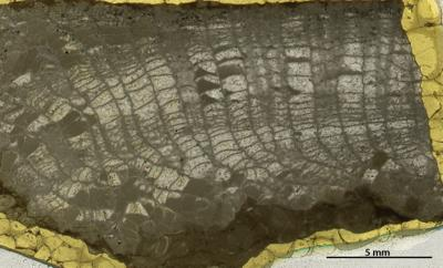 Catenipora elegans (Fischer-Benzon, 1871), GIT 180-211