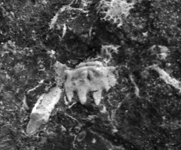 Remopleurides nanus elongatus Fr. Schmidt, 1894, TUG 1086-21