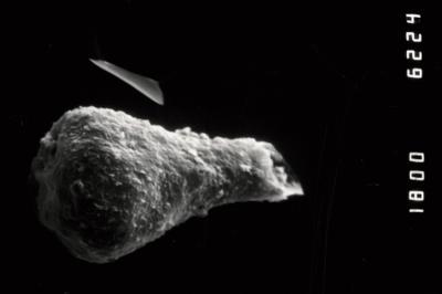 <i><i>Sphaerochitina</i> | Sphaerochitina sp.</i><br />Ohesaare borehole, 112.60 m, Paadla Stage ( 754-991)