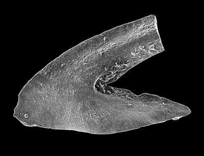 Oslodus semisymmetricus (Hamar, 1966), GIT 449-59
