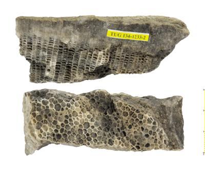 Paleofavosites alveolaris, TUG 134-1233-2