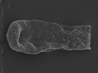 <i><i>Conochitina cribrosa</i></i><br />Ventspils D-3 borehole, 693.00 m, Jaagarahu Stage ( 754-315)