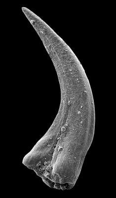 Panderodus sulcatus (Fåhraeus, 1966), GIT 449-46