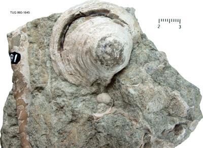Pseudometoptoma siluricum (Eichwald, 1842), TUG 860-1645