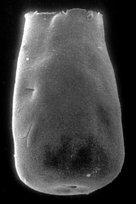 <i><i>Eisenackitina dolioliformis</i></i><br />Jaagarahu borehole, 41.70 m, Jaani Stage ( 273-13)