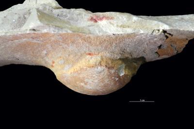 Bergaueria isp., GIT 362-273