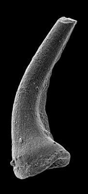 Semiacontiodus carinatus Dzik, 1976, GIT 449-65