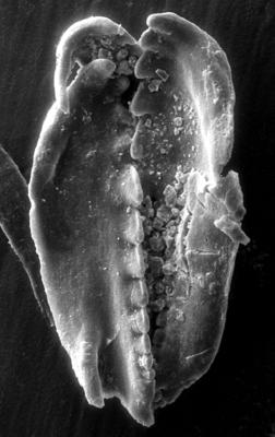 <i>Polychaetura gracilis Kozlowski, 1956</i><br />Apraksin Bor 17 borehole, Leningrad Oblast, 144.25 m, Idavere Substage