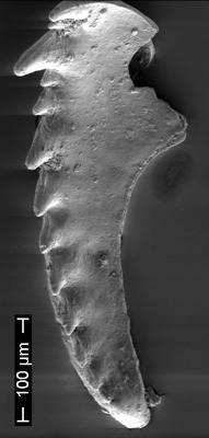 Paulinitidae