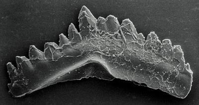 Ozarkodina excavata puskuensis Männik, 1994, GIT 254-6