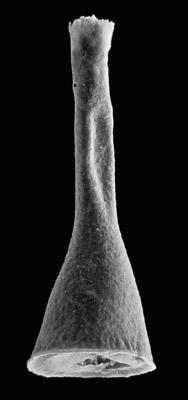 <i><i>Cyathochitina giraffa</i></i><br />Rapla borehole, 156.90 m, Kukruse Stage ( 603-2)