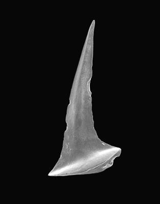 Drepanoistodus cf. forceps (Lindström, 1955), GIT 495-37