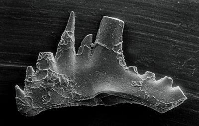 Kockelella manitoulinensis (Pollock, Rexroad et Nicoll, 1970), GIT 254-32