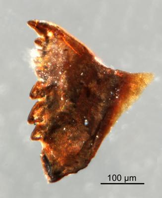 <i>Oenonites sp.</i><br />Qusaiba 1 borehole, 497.80 m, Upper Ordovician