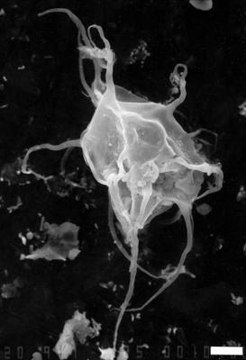 Polygonium delicatum Rasul, 1979, GIT 344-258