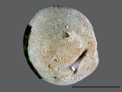 Stigmatella massalis Bassler, 1911, GIT 105-11